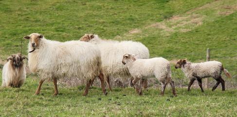 Ovejas con corderos de raza Carranzana. Lastres, Asturias.
