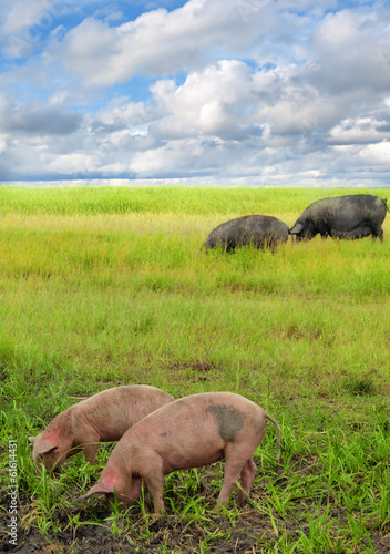 pigs in the field of wheat
