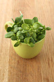Green young sunflower sprouts in cup on wooden background