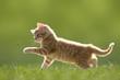 canvas print picture - Junge Katze mit Marienkäfer, auf grüner Wiese