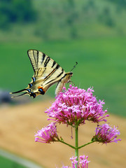 Papillon butine une fleur printemps 3