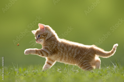 canvas print picture Junge Katze mit Marienkäfer, auf grüner Wiese