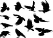 set of twelve crow silhouettes isolated on white