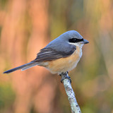 Grey-backed Shrike bird