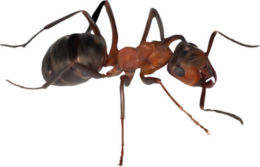 color single brown ant isolated on white