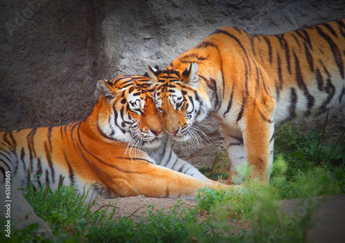 Foto op Aluminium Tijger Tiger's couple. Love in nature.