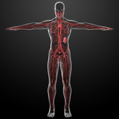 lymphatic system - front view