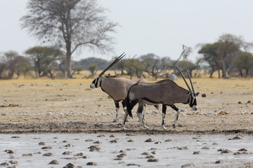 Oryx's at the waterhole in Nxai Pan NP