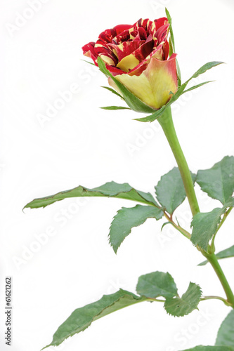 beautiful rose flower isolated on white background.