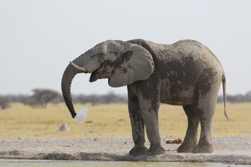 Dust covered elephant drinking water