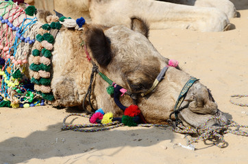 Decorated head of tribal nomad camel at cattle fair ,Rajasthan