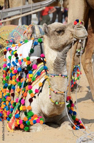 Lyinng colourful decorated camel in nomadic camp,India