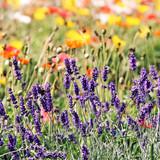 blühender lavendel auf mohnwiese