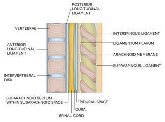 Human vertebral column with description