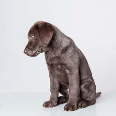 Puppy labrador retriever dog isolated on a white background.