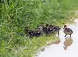group of  ducklings hiding in the grass