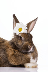 bunny with camomile