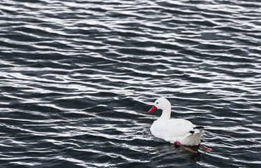 Young white swan, shallow DOF