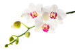 Blooming branch  white with red  orchid is isolated on a white b