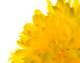 yellow chrysanthemum is  isolated on white background, closeup