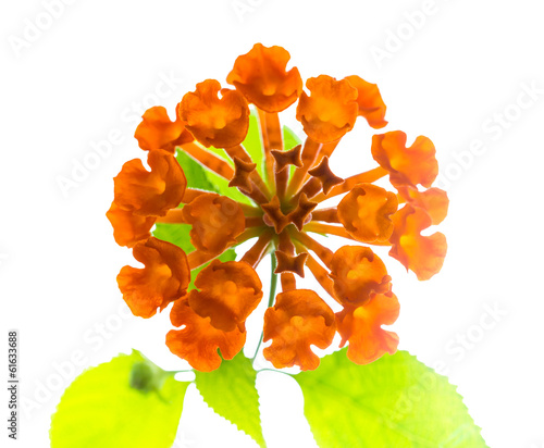 orange Lantana Flowers camara is isolated on white background, c