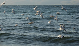 Covey of gulls on the lake