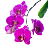 branch  lilac orchid with bandlet isolated, white background