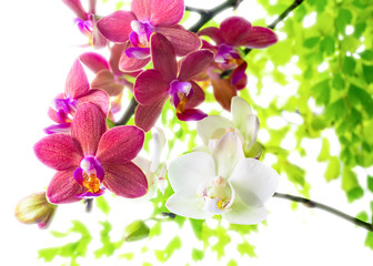 white with red   phalaenopsis with green leaves is isolated on w
