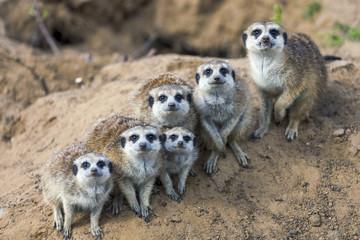 Sitting meerkats