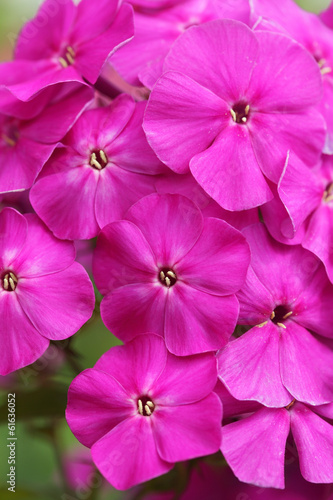 bright flowers, Phlox