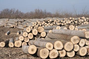 Stacked cut poplar logs on wood-cutting area
