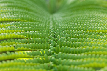 Close-up of fern leaf in Big island forest