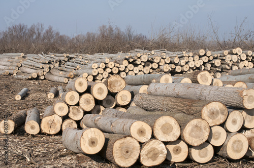 Stacked cut poplar logs on wood-cutting area