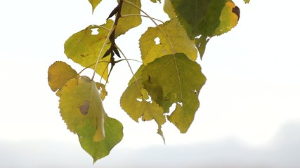 Yellowish leaves in early autumn swaying in the wind