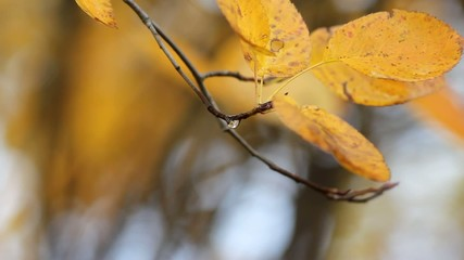 Yellow leaf sways in the wind - Closeup