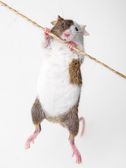 little mouse climbing on the rope
