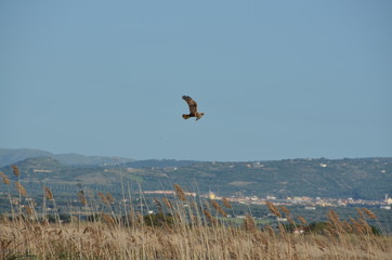 hawk over lagoon