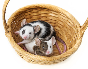 mice in basket