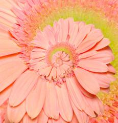 Gerber flower infinity spiral abstract background. Fibonacci.