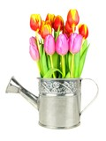 Vibrant spring tulips growing in a watering can