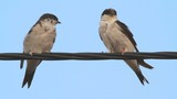 Pair of adult House Martin perched on a wire
