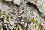 Lichen running-spider, Philodromus margaritatus on wood
