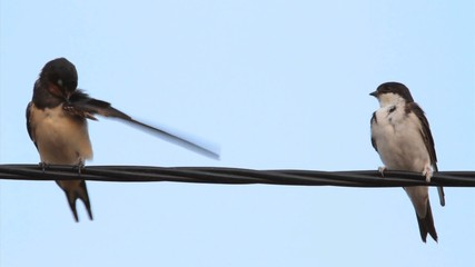 House Martin and Barn Swallow perched on a wire