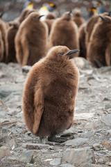 King penguin chick in South Georgia, Antarctica.