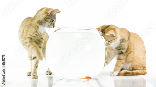 Kitten and goldfish