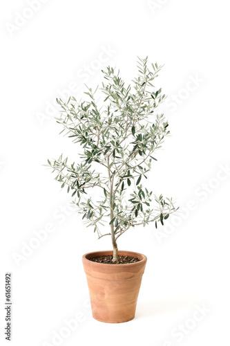 Tuinposter Olijfboom オリーブの鉢植え