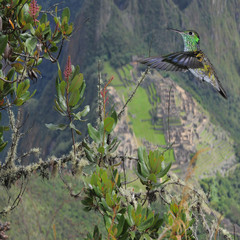Colibri on Machu Picchu background.