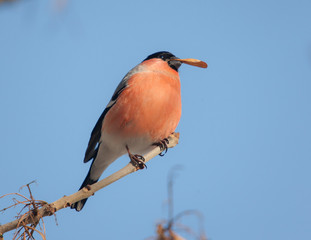 portrait of a bullfinch