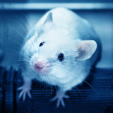 Laboratory mouse in the experiment test.