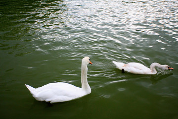 two swans in the water park